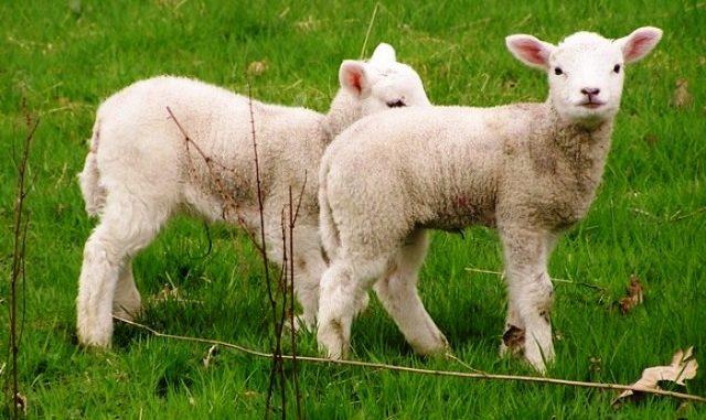 musulmani sgozzati agnelli