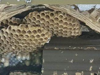 vespe calabroni cassano