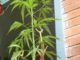 coltiva balcone marijuana polizia