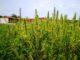 piante di marjuana sesto calende