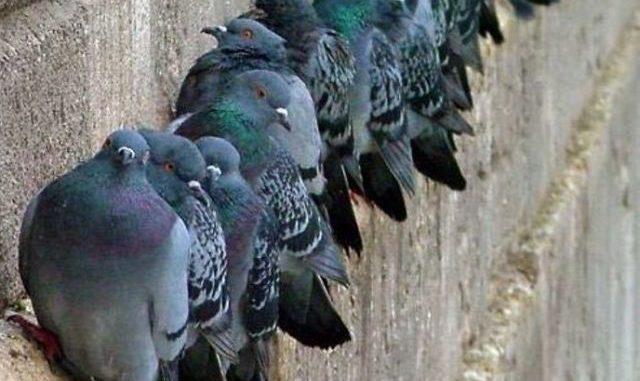 gallarate spara piccioni denunciato