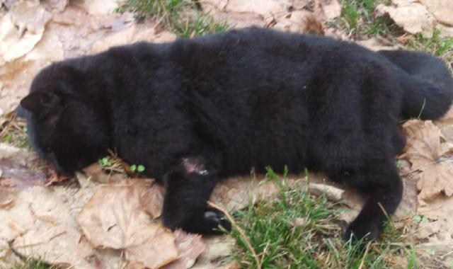 gatto negretto ferno morto