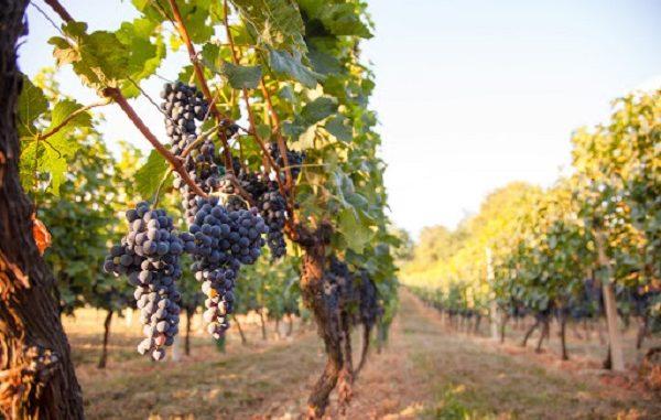 coldiretti crisi vini varesotto