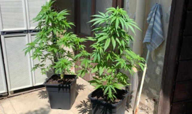 samarate marijuana denunciato