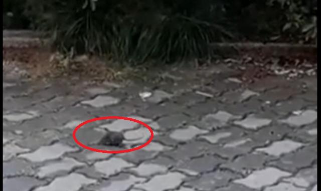 gallarate topi via torino