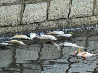 legnano moria pesci olona cause