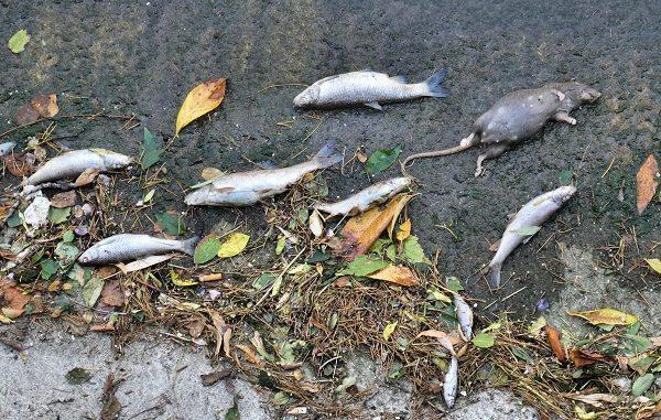 legnano olona pesci morti analisi