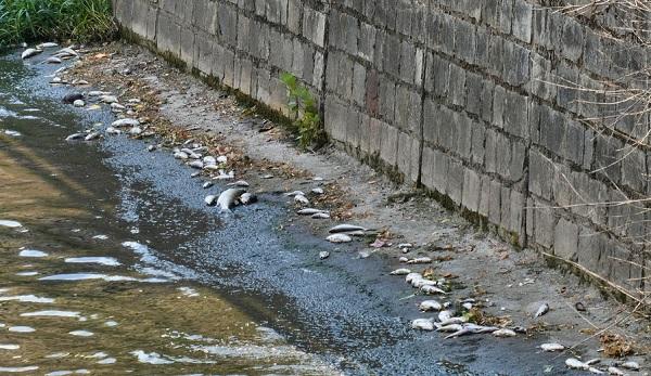 olona pesci morti cause