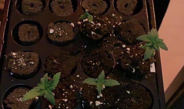 sesto schiamazzi marijuana denunciato