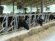 ventole mucche coldiretti caldo