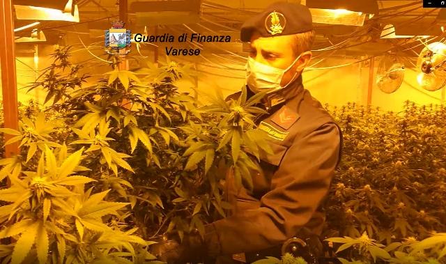 lonate pozzolo vanzaghello marijuana