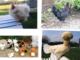cassano fagnano galline rubate