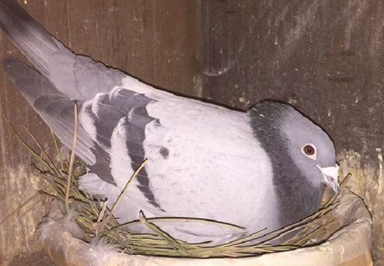 olcella piccioni viaggiatori maftei 02