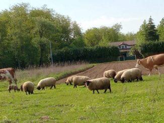 fagnano mucche, maiali libertà