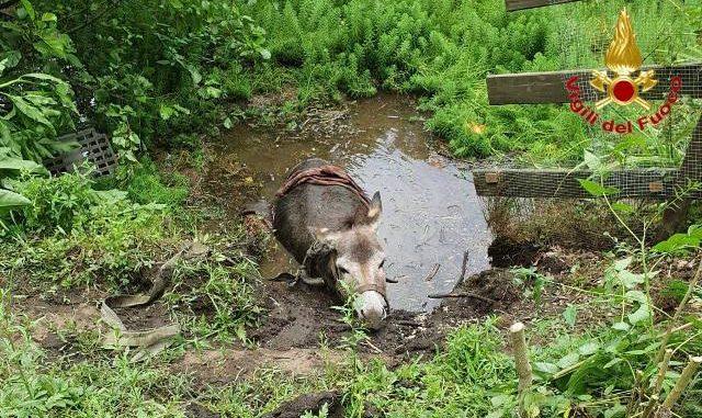leggiuno asino salvato vigili ispra